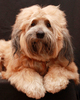 Tibetan Terrier Dog 4: My Tibetan Terrier on his 4th birthday!