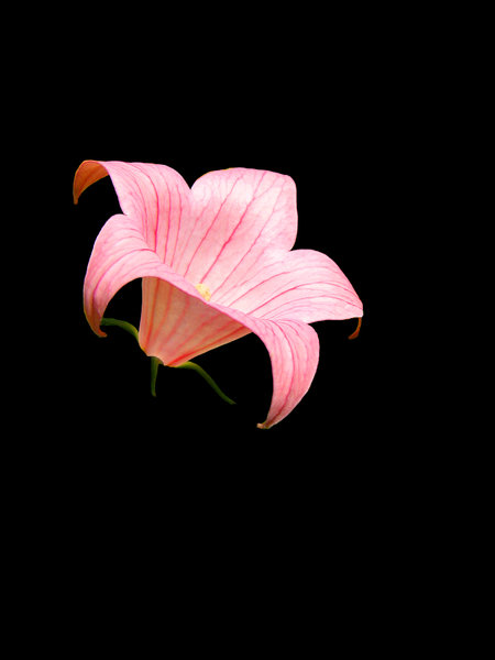 Pink Lily -- Black Background: Please let me know if you are able to use my pictures for something.Even if it's something small --I would be absolutely thrilled to know if they came in useful for anyone!