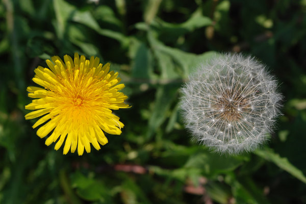 Maturing Dandelions 2: Dandelions, a very common weed in many parts of the world. The flower matures into a ball of filaments carrying away achenes with seeds.