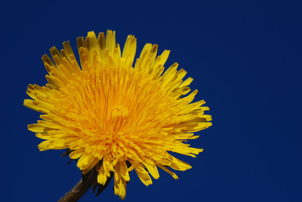 Dandelions 2: Dandelions, a very common weed in many parts of the world.