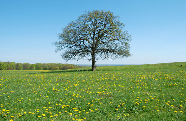 Solitary Tree Maio: