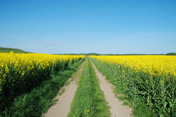 Yellow Fields and Tracks: Rapeseed fields divided by tracks.