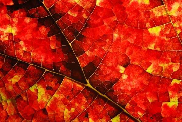 Red Autumn: Picked up in my garden, front side of mosaic-texture leaf with sun light on the back side, It is actually is this red.