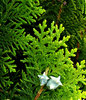 conifer colour: small garden conifer tree with varying shade of colour on new growth tips
