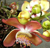 cannon ball tree flowers: fragrant large waxy colourful flowers of the cannonball tree