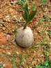 coconut growth: dropped coconuts germinating and beginning to grow