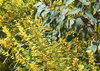 the gold and the green: Australian colours - golden wattle and green eucalypts