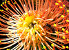 golden pincushion splendour: the golden splendour of the orange pincushion protea, Harry Chittick or Leucospermum cordifolium,
