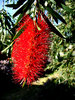 brushed by red: sunlight and shadow on a bright red Australian bottlebrush flower