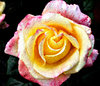 canvas art rose: artistic presentation of multicoloured rose