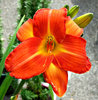 orange lily: bright orange lily garden flower