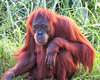 senior redhead3: mature adult female orangutan