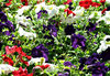 garden colour2: colourful garden display  in bloom