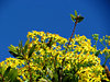 gold, green & blue: mass of yellow creeper flowers amongst green foliage against bright blue sky