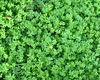 groundcover greenery1: backyard ground cover