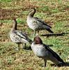 family outing3: family of  Australian wood ducks out foraging