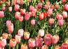 spring tulips2: Spring tulips display at Western Australia's Araluen bush Park