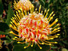 South African wildflowers8: South African wildflowers - proteas