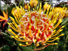 South African wildflowers11: South African wildflowers - proteas