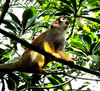 squirrel monkey2: small common squirrel monkey free ranging in tourist area