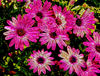 glassy petal pink1: artistic glassy rendering of pink & white daisies photo