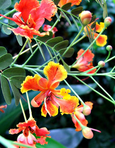 tropical blooms: tropical flowers in Singapore