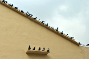pigeon presence: pigeons resting on building roof edge and wall ledge