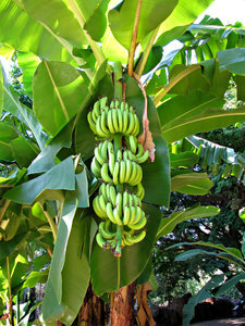 banana growth: bunches of green growing bananas on banana tree