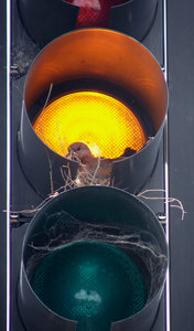 cautious bird: dove nesting in traffic light
