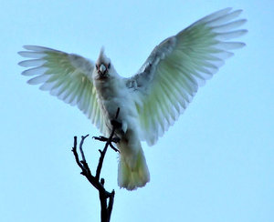 in a flap: corellas - Australian cockatoo - spreading wings and squawking