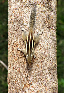 defying gravity: Indian Palm Squirrel descending tree head first