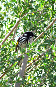 new holland honeyeater: small black, white and yellow Australian nectar seeking bird