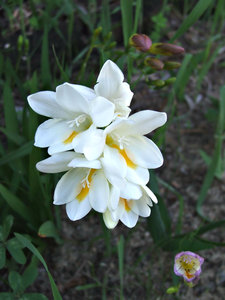 delicate white: strongly scented white freesia - both a garden plant and a competing bushland weed (in Australia)