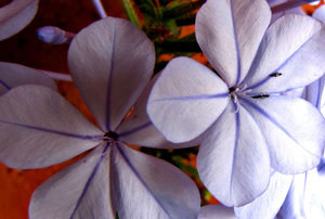 bugged and blue lined: cape plumbago fast growing hardy shrub with sky blue flowers, lines and bugs