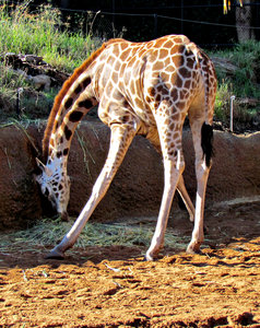 long mealtime5: giraffe eating