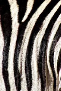 black & white stripes2: black and white zebra strip patterns