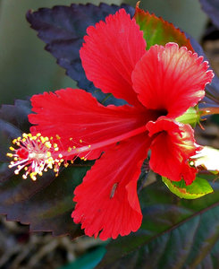 hibiscus red: bright red fancy frilly petaled hibiscus