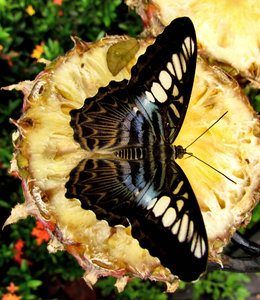 butterfly beauty3: butterfly feeding on sweet pineapple slices