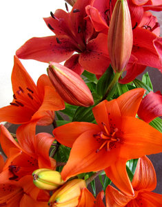 lily display7: colourful bunch of oriental lilies opening up