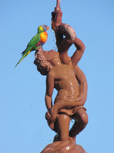 thirsty bird: Australian rainbow lorikeet drinking on historic fountain