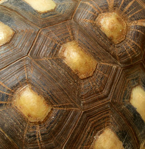 tortoise shell contours3: abstract appearance of large radiated tortoise carapace - shell