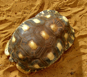 slow but steady1: radiated-tortoise holding its head in as it slowly moves forward