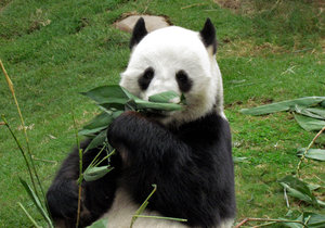 panda snack time7: giant panda snacking on bamboo