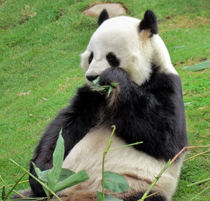 panda snack time10: giant panda snacking on bamboo