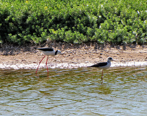 morning waders2: mature black-winged stilt with young