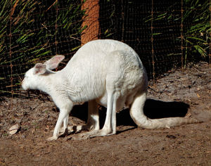albino kangaroo1: albino kangaroo carrying a joey in its pouch