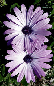 daisy pink2: pinkish African daisies