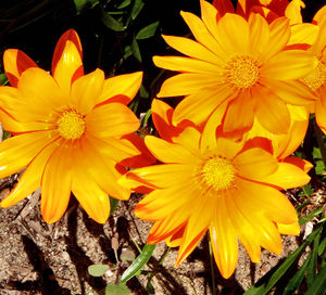 gazania gold3: the painted-like colourful appearance of gazanias