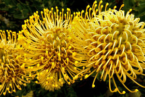 yellow pincushion colour4: the splendour of the yellow pincushion protea,  Leucospermum cordifolium, good for dried flower arrangements and more