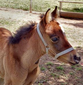 Branco cavalo castanhas de